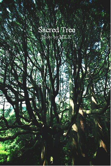 高森殿の杉1.jpg