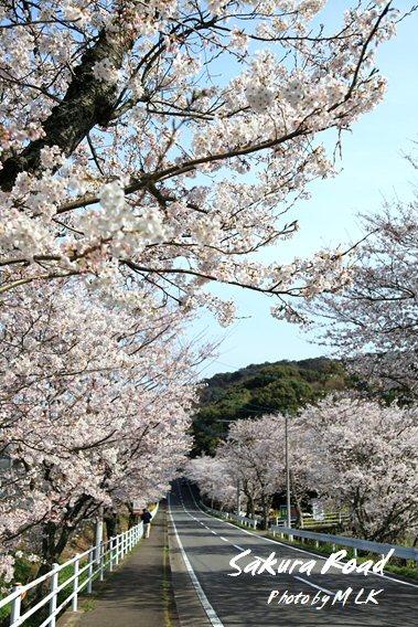 sakura_road.jpg